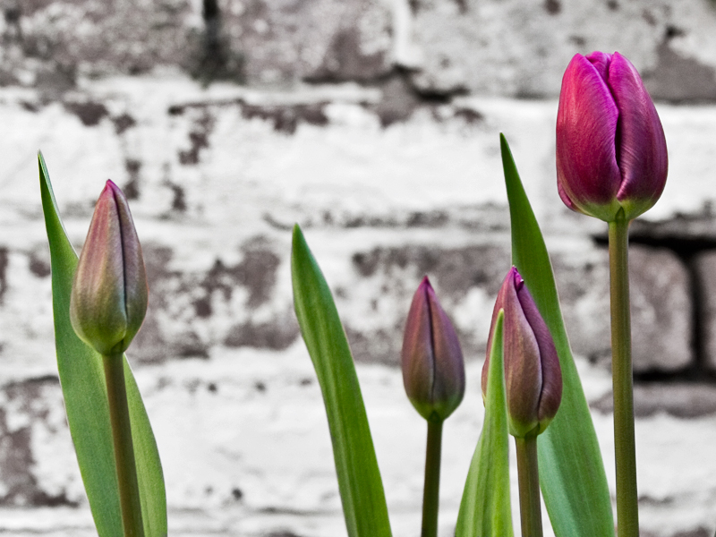 Tulips In The Back Yard – Photograph