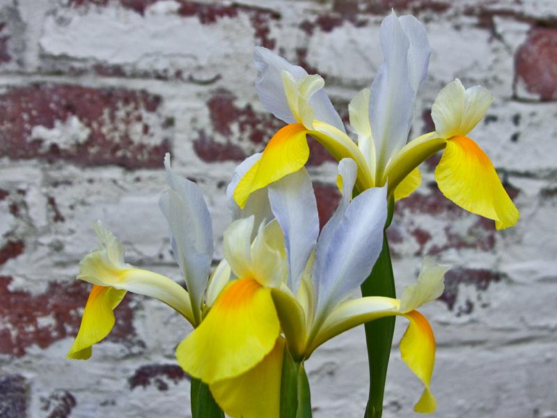 Tulip Festiva ( Germanica)