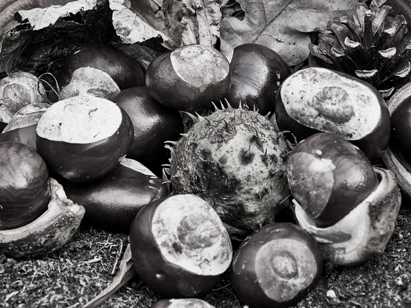 It's Officially Autumn! My Conker Photographs