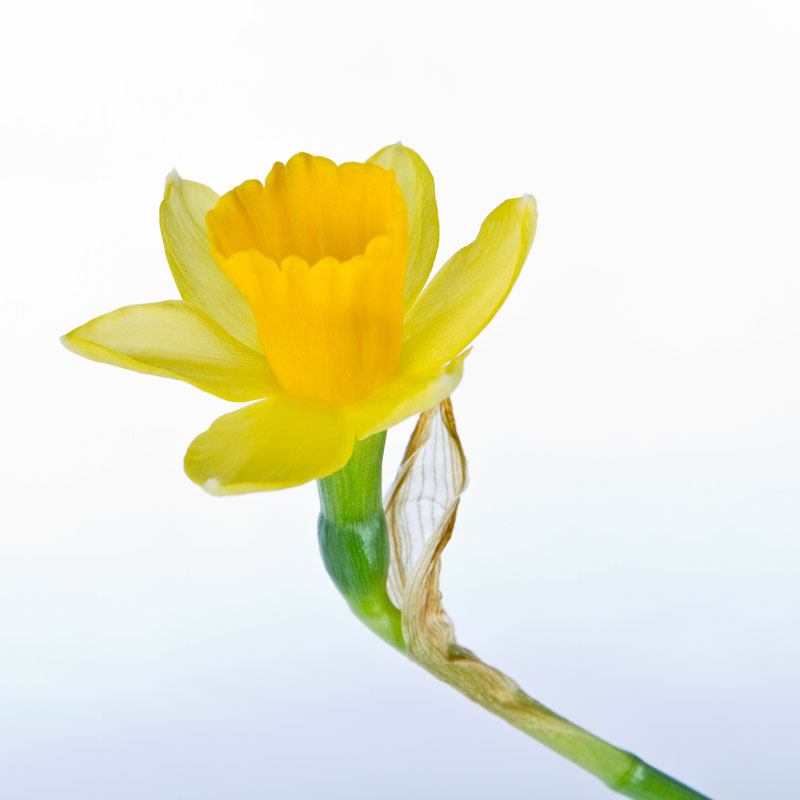 Mini Daffodill on white background