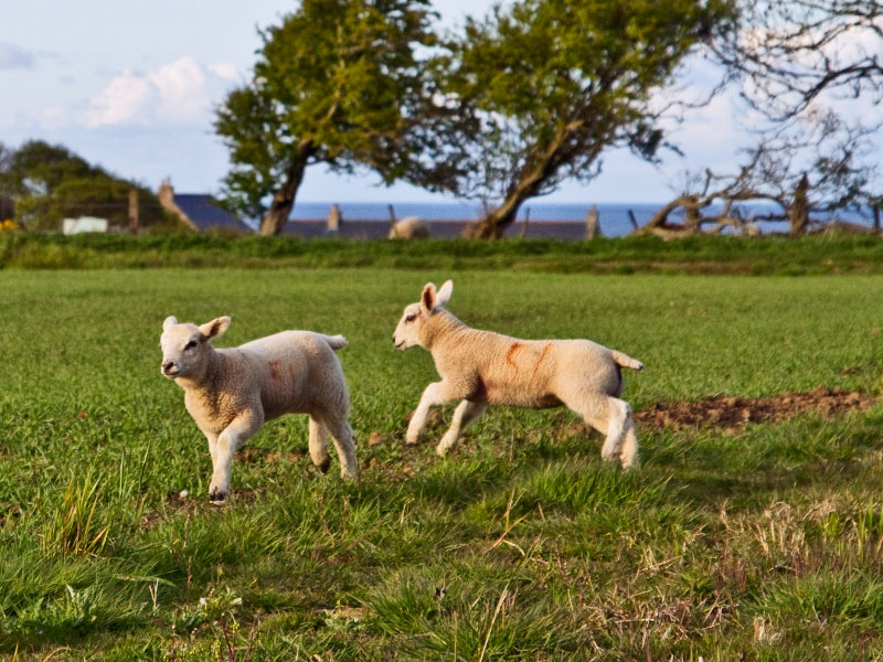 Lambs in Northumberalnd